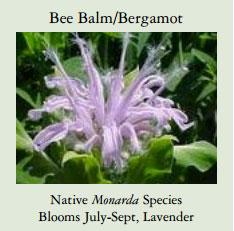 Bee-Balm-Bergamot