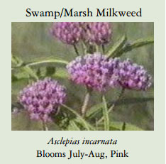 Swamp-Marsh-Milkweed