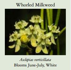 Whorled-Milkweed