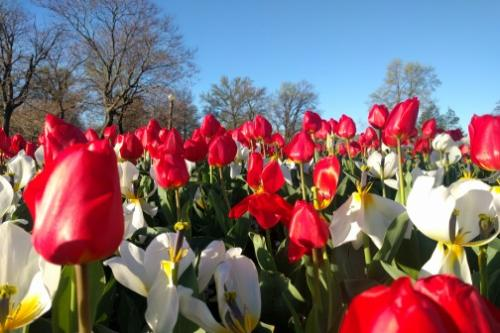 Spring Tulips in Tower Grove Park