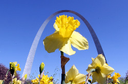 Close up a daffodil with the Gateway Arch in the background.